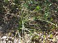 Nolina brittoniana fh 0523.41 FL. In dichtem Buschwerk C.jpg