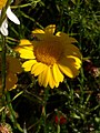 Noordwijk - Gele ganzenbloem (Glebionis segetum) v2.jpg