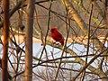 Northern Cardinal Seen In Kensington Metropark - panoramio.jpg