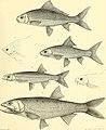 Nouvelles archives du Muséum d'histoire naturelle (1881) (14792769743).jpg