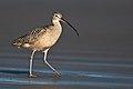 Numenius americanus -Morro Strand State Beach, Morro Bay, California, USA-8.jpg