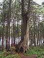 Nurse tree.jpg