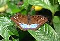 Nymphalidae (24383706766).jpg