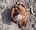 Oak apple (01845).jpg