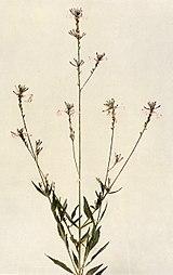 Oenothera gaura WFNY-148.jpg