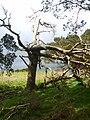 Old Pine, Wren Crag - geograph.org.uk - 1325454.jpg