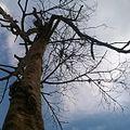Old tree Yaoundé.jpg