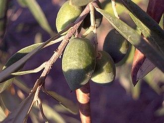 Oleaceae - Olive (Olea europaea)