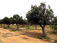 Olive trees in Namibe provincve, Angola.JPG