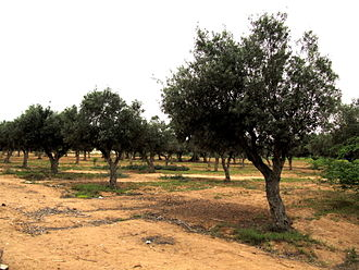Portuguese Angola - Olive trees in Namibe province, Angola