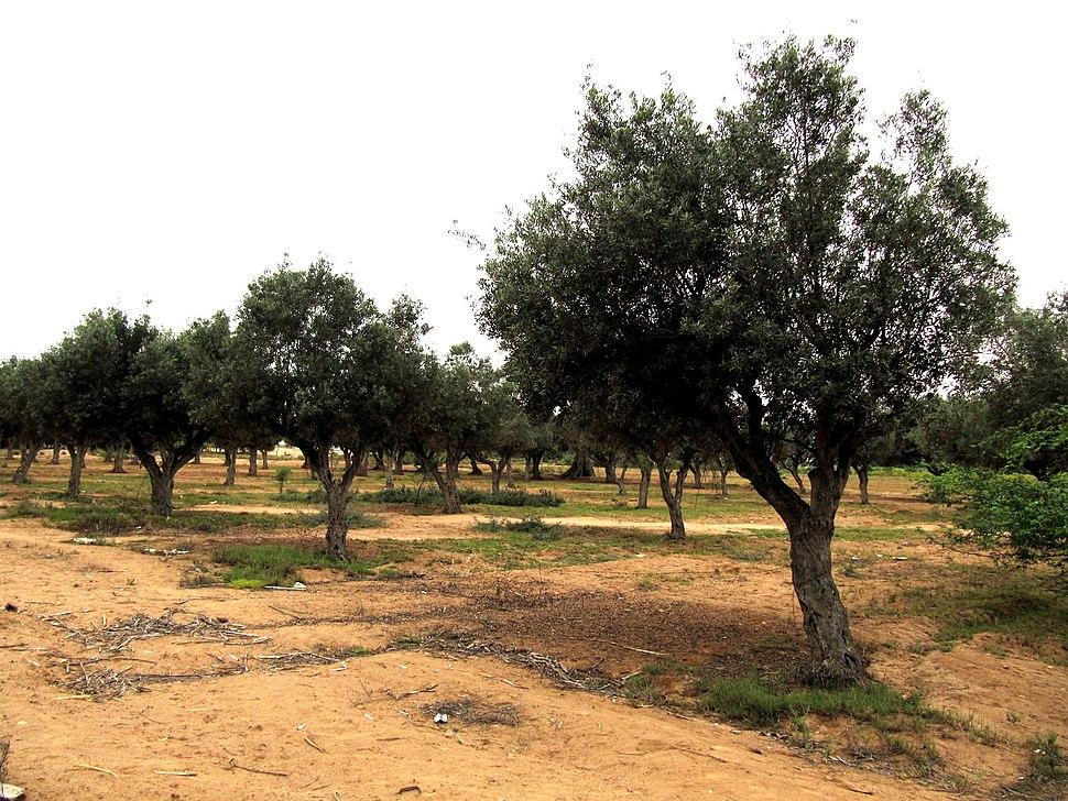 Olive trees in Namibe provincve, Angola