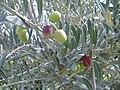 OlivesBranche.jpg