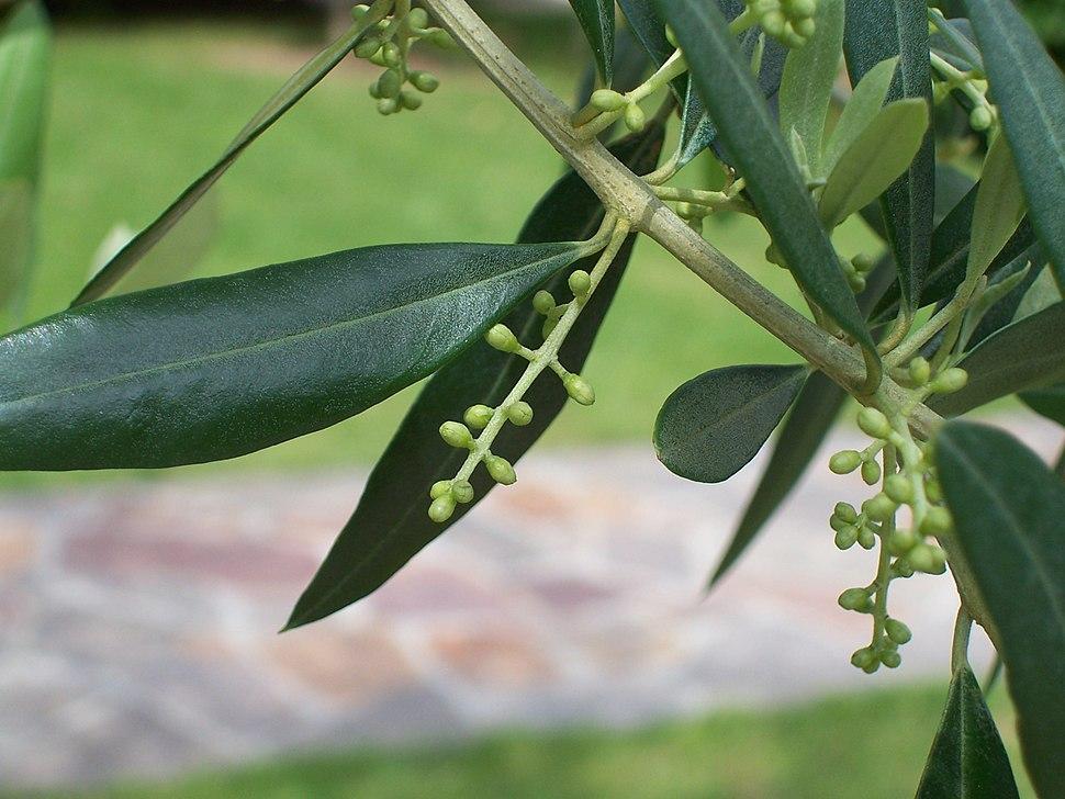 Olivo-fiore