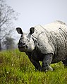One horn rhinoceros at Kaziranga national park.jpg