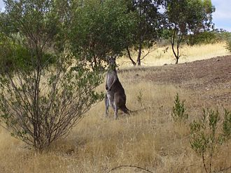 Onkaparinga River National Park - A kangaroo of Onkaparinga River National Park