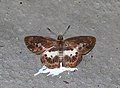 Open wing position of Gerosis phisara Moore, 1884 – Dusky Yellow-breast Flat.jpg