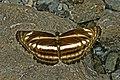Open wing posture busking of Neptis pseudovikasi Moore, 1899 – False Dingy Sailer WLB DSC 0292.jpg