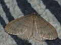 Operophtera fagata ♂ - Northern winter moth (male) - Пяденица зимняя (самец) (27085790248).jpg