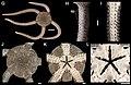 Ophioderma teres (zookeys.406.6306) 01.jpg