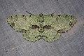 Ophthalmitis rufilauta (Geometridae- Ennominae- Boarmiini) (23622968712).jpg