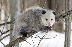 Northern Opossum (Didelphis virginiana)