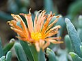Orange desert flower (14748240638).jpg