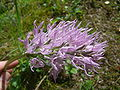 Orchis italica.003 - Serra de Enciña de Lastra.JPG