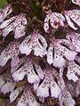 Orchis purpurea flowers1.jpg