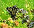 Oregon Butterfly on Blackberries.jpg