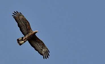 Oriental Honey Buzzard in flight.jpg