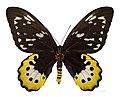 Ornithoptera goliath samson MHNT ventre.jpg