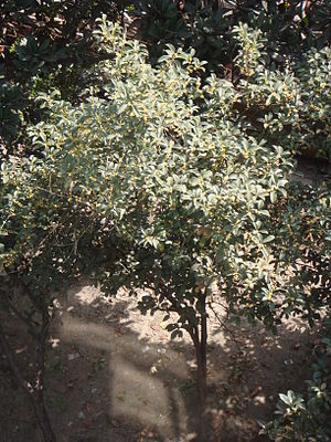 Osmanthus fragrans - Osmanthus fragrans in full bloom (October) in Jingjiang, China