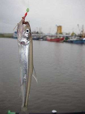 European smelt - Smelt caught by angling