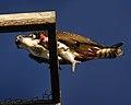 Osprey with fish at Smyrna Dunes Park - Andrea Westmoreland.jpg