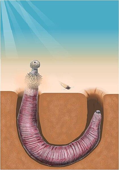 Ficheiro:Ottoia burrowing.jpg