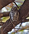 Otus senegalensis -near Satara Camp, Kruger National Park, South Africa-8.jpg