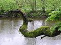 Overhanging bough, Cranny - geograph.org.uk - 1271027.jpg
