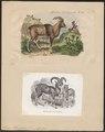 Ovis musimon - 1700-1880 - Print - Iconographia Zoologica - Special Collections University of Amsterdam - UBA01 IZ21300087.tif