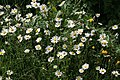 Ox-Eye Daisy, Potwell Dyke Grasslands - geograph.org.uk - 851586.jpg