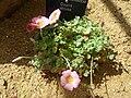 Oxalis obtusa (Oxalidaceae) plant.jpg