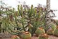 Pájara La Lajita - Oasis Park - Euphorbia cooperi 05 ies.jpg