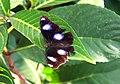 P005 JAVA Central Blitar Hypolimnas Bolina Bolina Male (6410046475).jpg