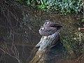 Pacific black duck at Downfall Creek 7th Brigade Park Chermside P1010622.jpg
