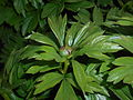 Paeonia peregrina 2016-04-19 7714.JPG