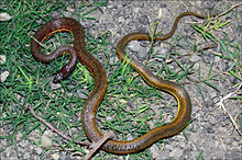 Painted Keelback from Kolkata, West Bengal (India).jpg