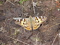 Painted Lady Butterfly - geograph.org.uk - 238224.jpg