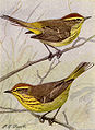 Palm and Yellow Palm Warbler NGM-v31-p317-A.jpg