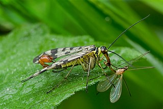 Scorpion fly
