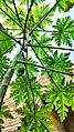 Papaya tree love.jpg