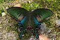 Papilio bianor thrasymedes male 20140525.jpg